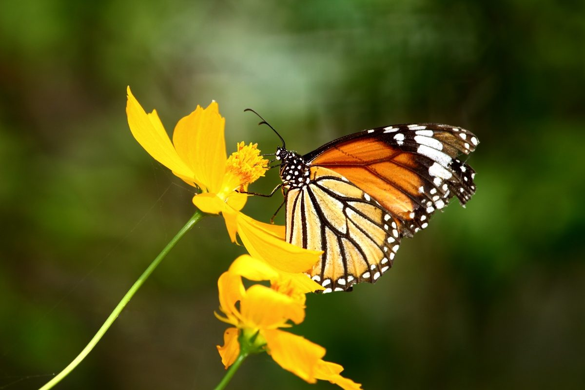 Experience the Monarch Butterflies in Mexico thumbnail